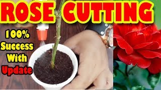 How To Grow Roses From Cuttings | Stem Cutting | How To Propagate Roses - Sprouting Seeds