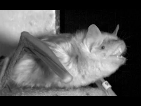 What Bats Might Reveal About Your Brain