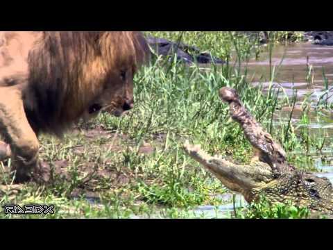 Une Sélection De Vidéos Les Plus Incroyables De Lions