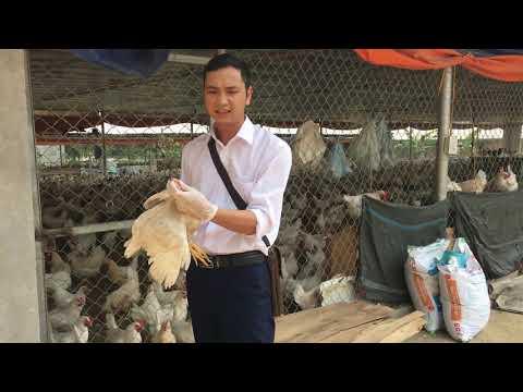 Giải pháp chống cắn, mổ, ăn lông ở gà đẻ