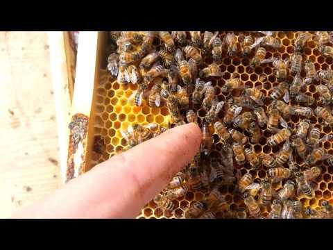 матка пчелы итальянка