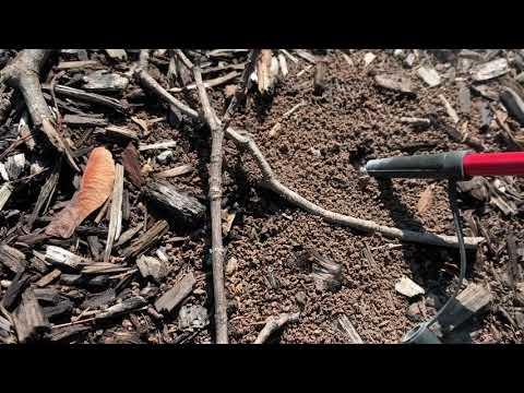 Underground Colony of Citronella Ants Found...