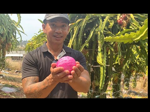 Dragon Fruits Garden at Friend's house in San Diego   ចំកាស្រកានាគខ្មែរនៅ San Diego