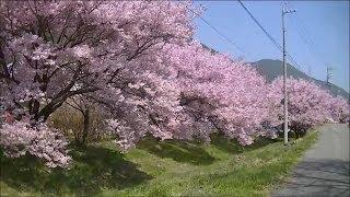 お花見穴場スポットほたる童謡公園桜辰野町