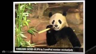 preview picture of video 'Panyu Safari Park Panda & International Circus Michaeljudy's photos around Guangzhou, China'
