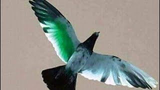 Cup Ma Pigeons Flying in Lahore - Most Popular Videos