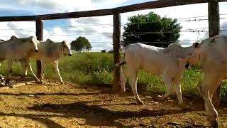Bovino Corte Nelore Bezerro 1-5@ - e-rural Imagens