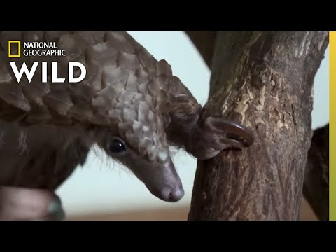 The Pregnant Pangolin | Secrets of the Zoo