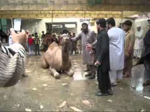 Camel Qurbani2 from Asad Sheikh (7 nov 2011)