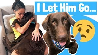 Saying Goodbye to Theodore 😭// Labrador Foster Dog Finds Forever