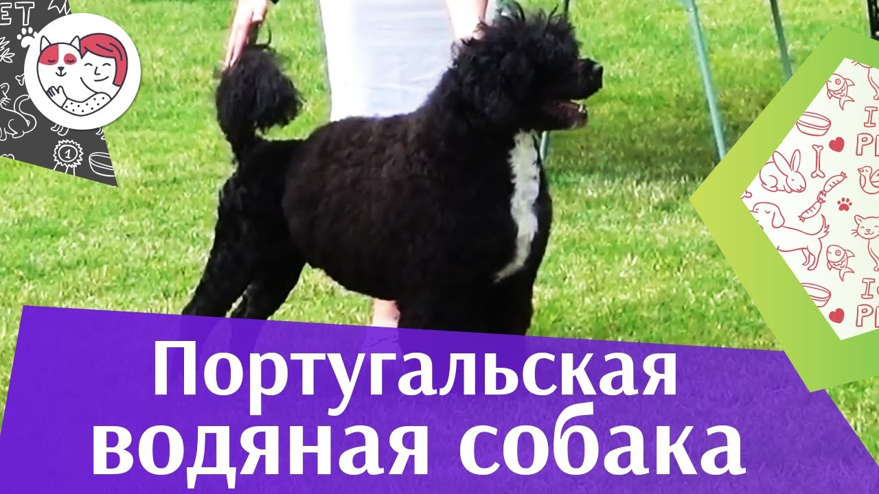 Португальская водяная собака на ilikepet. Особенности породы, уход