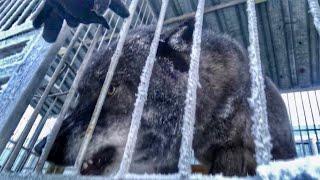 Последствия встречи Волка и Алабая