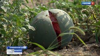 В Темрюкском районе град побил урожай арбузов