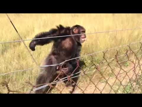 Chimpanzee swaying, dancing and clapping along to steel drum music