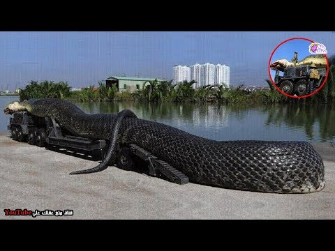 41983ee3513d5 اكبر 7 ثعابين في العالم واضخمهم على الاطلاق !!