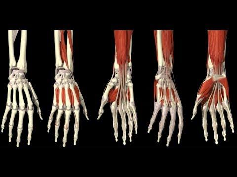 3D Анатомия человека - мышцы кисти. / 3D Anatomy human - muscles hand.