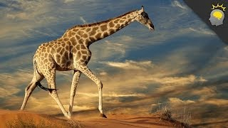 Giraffe - Facts