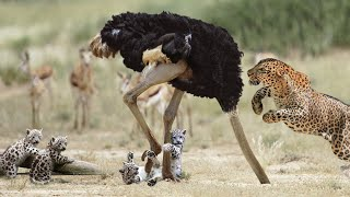Jaguar attack Ostrich !! The Ostrich Attacked The Small Newspaper And Was Revenge By Her Mother