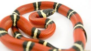 Змей Мира №2 - Аспид арлекиновый коралловый / Micrurus fulvius