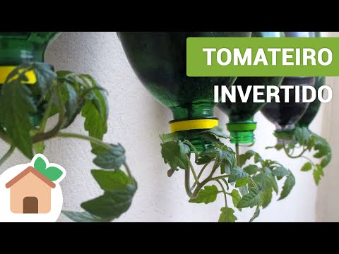 Tomateiro Invertido | Tomato Plants Inverted