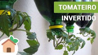 Tomateiro Invertido | Tomato Plants Inverted