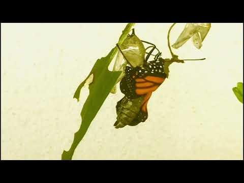 pillangó zeugma foglalkozik)