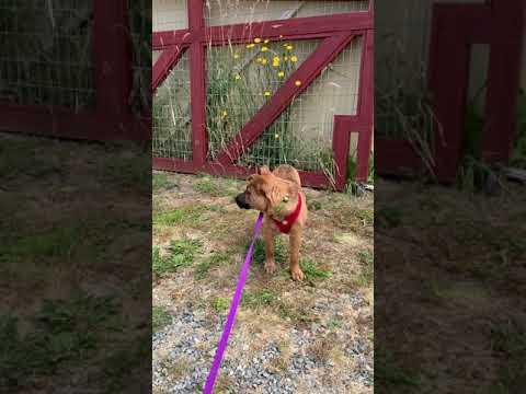 Petey, an adoptable Shepherd & Labrador Retriever Mix in Sequim, WA