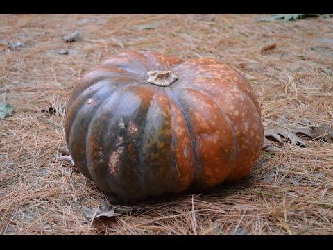 , title : 'Ontario Fairytale Pumpkins at Harvest Barn Country Markets - aka Musque de Provence