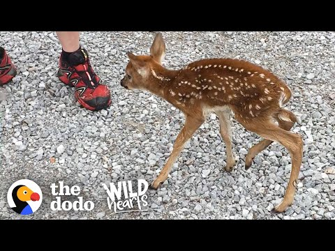 Baby Deer Asks People to Save Her, They Deliver!