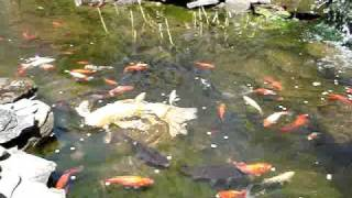 Backyard goldfish koi pond in the spring and first feeding of the season