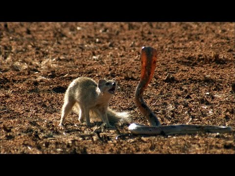 The Ultimate Showdown in Nature: Mongoose Versus Cobra