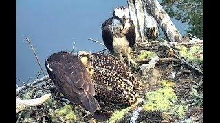 Rachel unable to feed so Steve takes over. Hog Island Ospreys. 05.48 / 10 July 2019