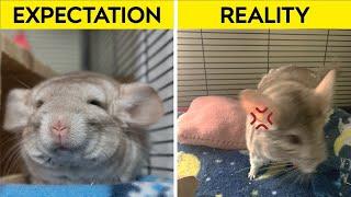 Pet Chinchilla Expectations vs Reality
