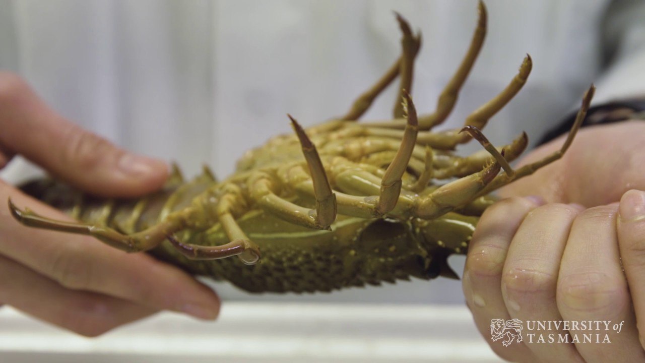 Play video: How can we get faster growing lobsters?