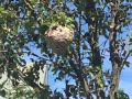 Volleyball Size Hornets Nest Removed in Morganville, NJ