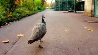 Green Pavo Peacock walking in Germany