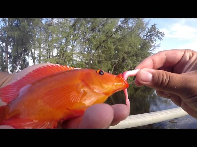 Fishing for Exotic Cichlids in Florida (Opa-Locka, FL)