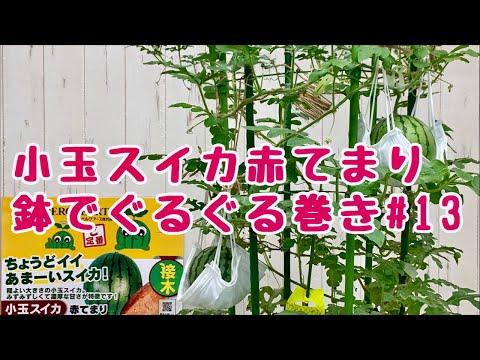 , title : '小玉スイカ赤てまり鉢でぐるぐるNo.13ベランダでも簡単あんどん仕立てで空中栽培