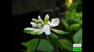 八重咲ドクダミの花が咲きました~