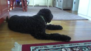 Black Goldendoodle - Motivational Training - Meet Tardis #5