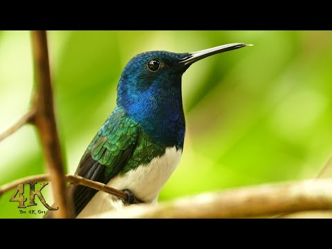 Video compilation of Panama's beautiful wildlife in 4K UHD