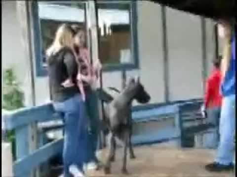AMAZING Great Dane dog show!!!