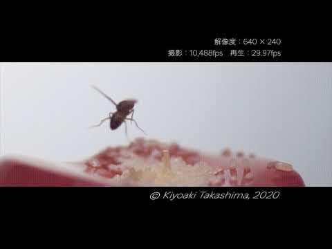 , title : '【スーパースロー】5406fps & 10,488fps!ショウジョウバエ【Chronos 2.1 Highspeed】
