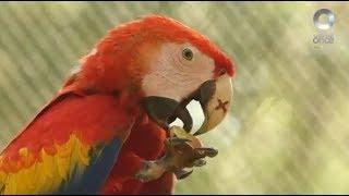 Especiales Noticias - El regreso de las guacamayas rojas. Rescate de la selva tropical