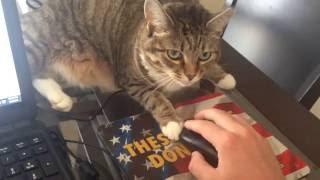 Работать дома с кошкой практически невозможно ... видео