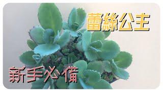 威霖TV送!大家都有的多肉植物Weedysucculents蕾絲公主