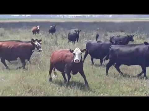 Afiche 200 Vacas con servicio - Daireaux