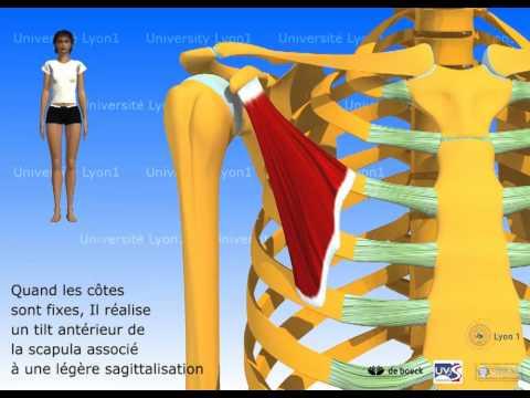 Bolyat les muscles sur le dos