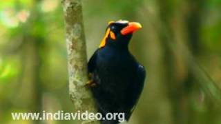 Southern Hill Myna or Gracula Indica