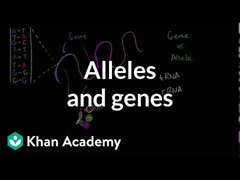 Alleles definition & allele vs gene comparison (video